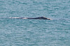 • Right Whales ~ 6 Miles south of Ocean Ave on A1A.<br /> • I took this photo of the Right Whale for identification purpose