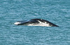 • Right Whales ~ 6 Miles south of Ocean Ave on A1A.<br /> • A Right Whale's Fluke