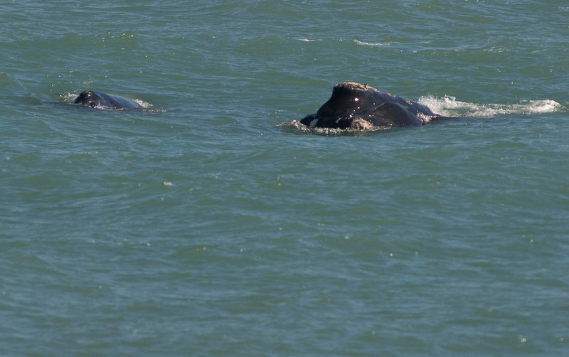 This Right Whale photo was taken in Satellite Beach, Florida on 1/28/08
