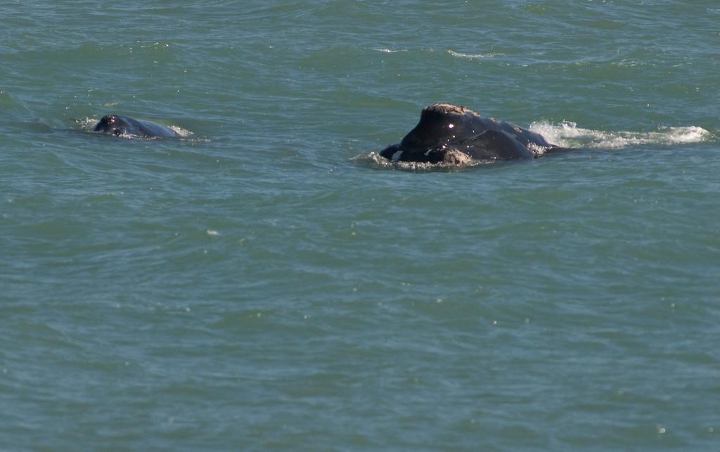 This Right Whale photo was taken in Satellite Beach, Florida on 1/28/08