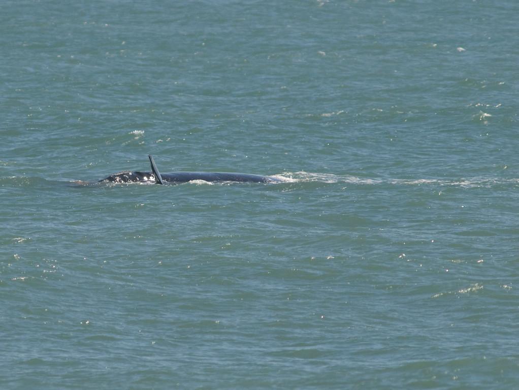 This Right Whale was taken in Satellite Beach, Florida 1/28/08
