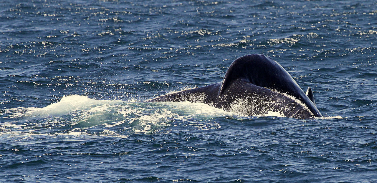 Humpback Diving with Tail Fluke coming out of the water