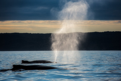 Humpback Whales Blowing