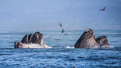 Humpback Whales Lunge Feeding, Monterey Bay
