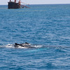Mother and Calf Between Aggressor and Shipwreck