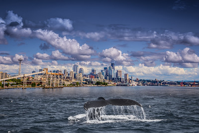Humpback Whale in the Seattle Sound