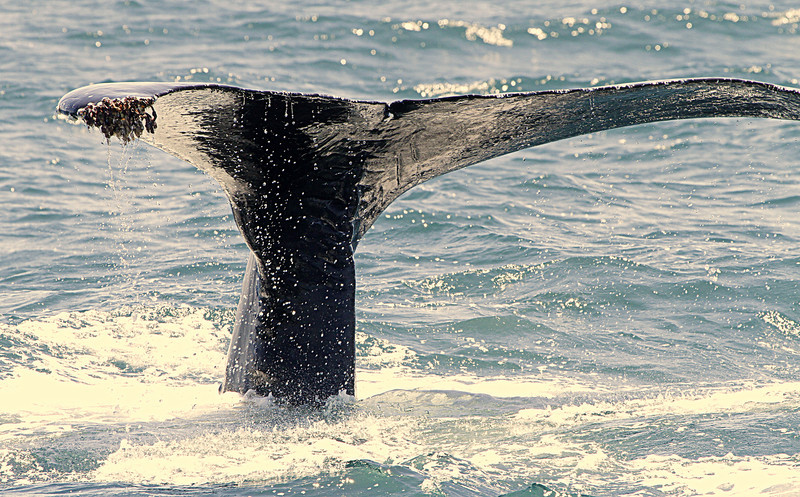 Humpback tail fluke with barnacles on the tips
