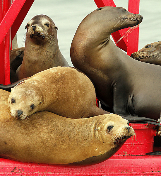 Sea Lions on Bouy