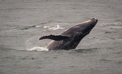 Humpback Whale, Splash