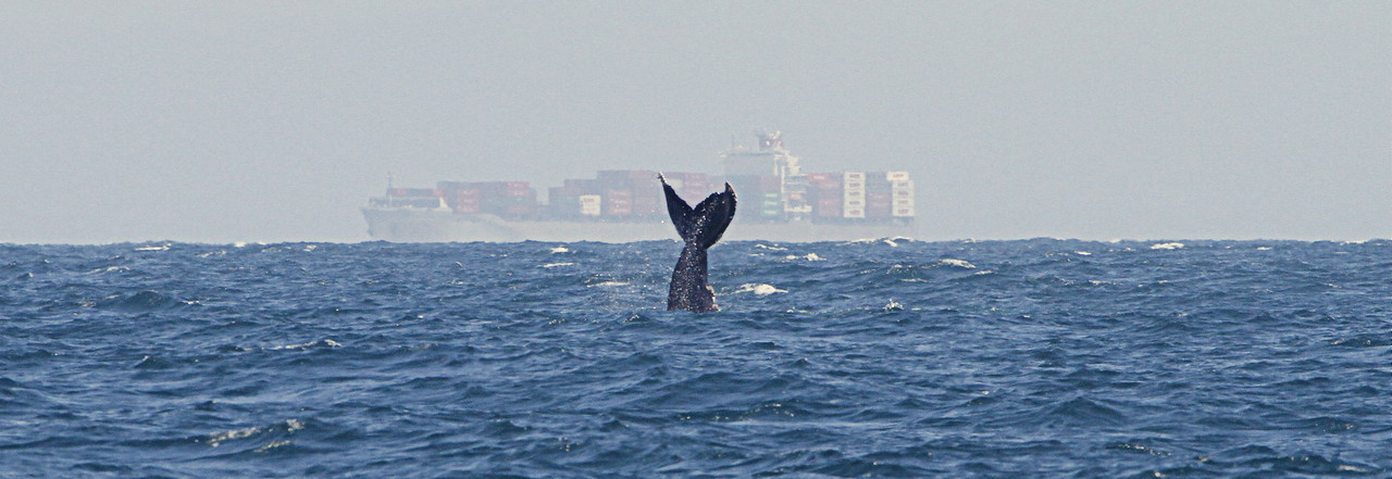 Humpback performing tail slaps in the distance. It did this for a good 15-20 minutes before getting tired of it