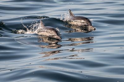 Monterey dolphins 8930
