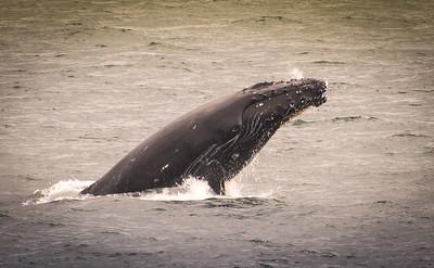 Humpback, Juneau Alaska
