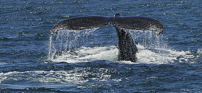 Seawater streaming off the tail fluke of a humpback diving for krill
