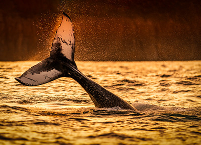Water Spray Whale Tail in Golden Light