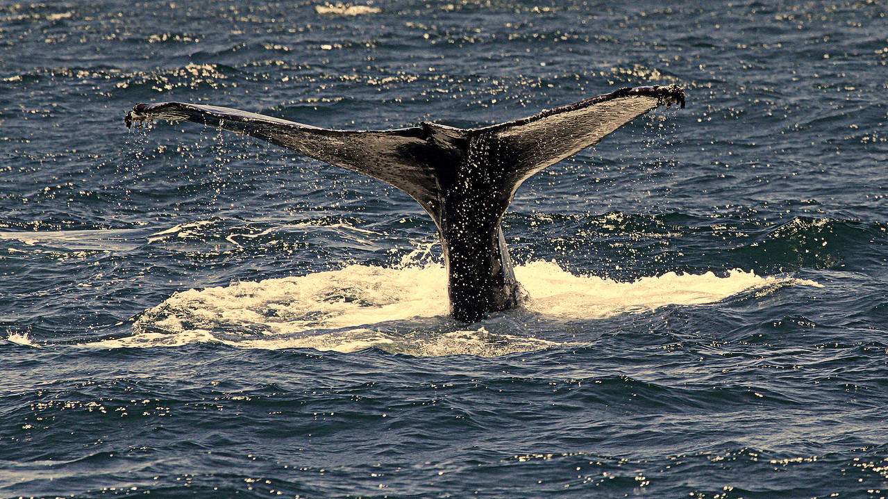 Humpback with Barnacles on Tail Fluke