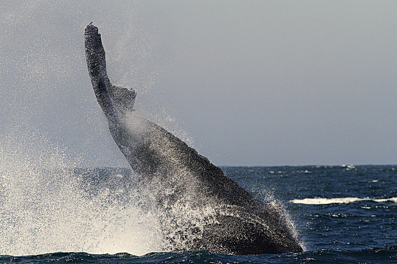 Humpback performing a tail slap