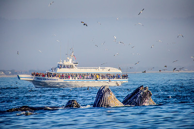 The Princess Monterey and Lunge Feeding Humpbacks