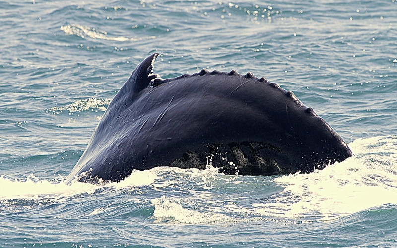 Humpback showing the deep arch that signals it is doing a deep dive and you wil see the fluke surface soon.