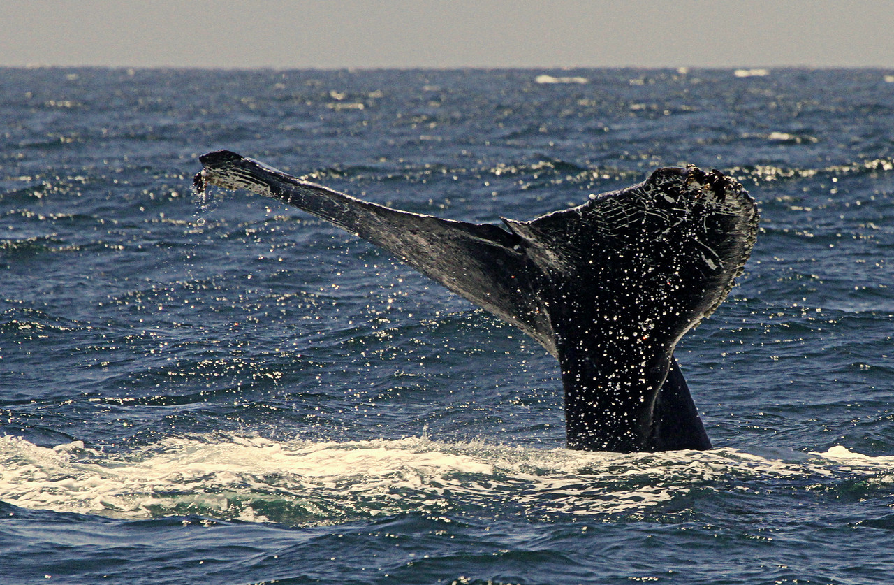 Humback diving with tail fluke in the air