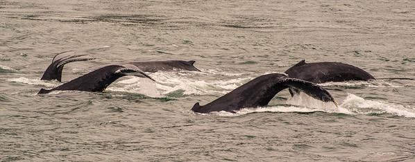 Pod of Whales, Alaska
