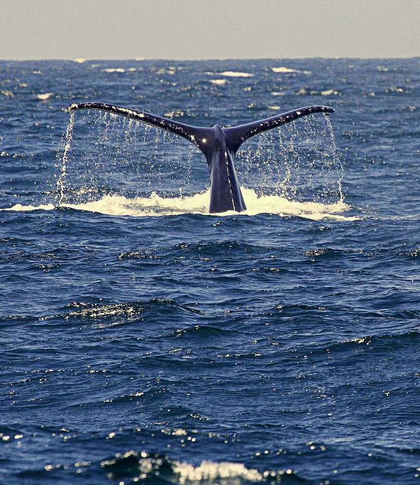 Humpback Whale Deep Diving off Channel Islands