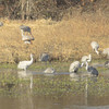 Sandhill Cranes bathing