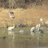 Sandhill Cranes bathing