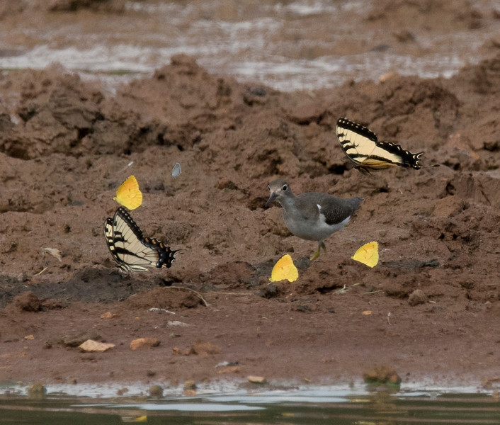 Spotted Sandpiper and Butterflies puddling