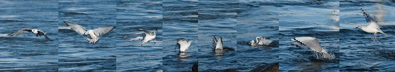 Bonaparte's Gull feeding sequence