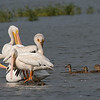 American White Pelicans and Mallards