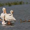 American White Pelicans and Mallards