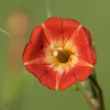 Small Red Morning Glory