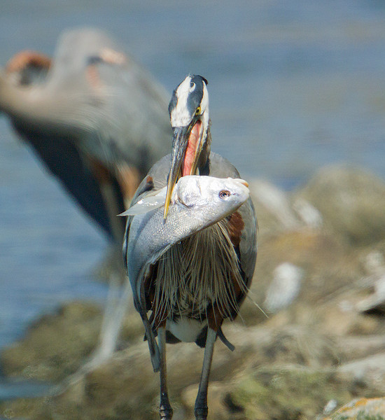 This was the third Great Blue to try to eat this fish. He too could not eat it and put it back into the water.
