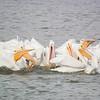 American White Pelicans feeding