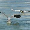 The Great Blue Heron won