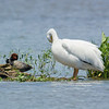 Canvasback and Pelican 21May2014
