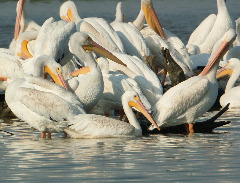 Small  White Pelican