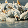 Small  White Pelican