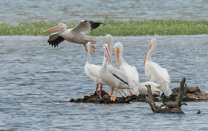 American White Pelicans at Town Creek Marsh
