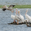 American White Pelicans at Town Creek Marsh
