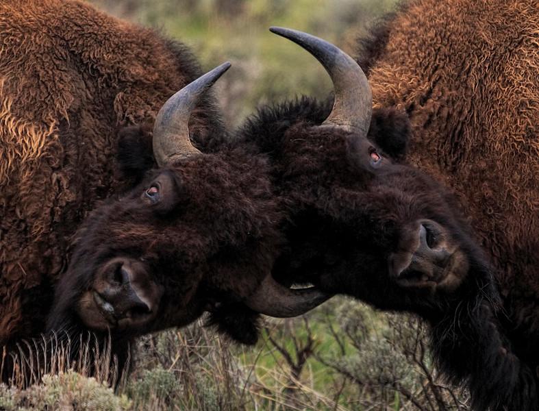 Buffalo Tussle