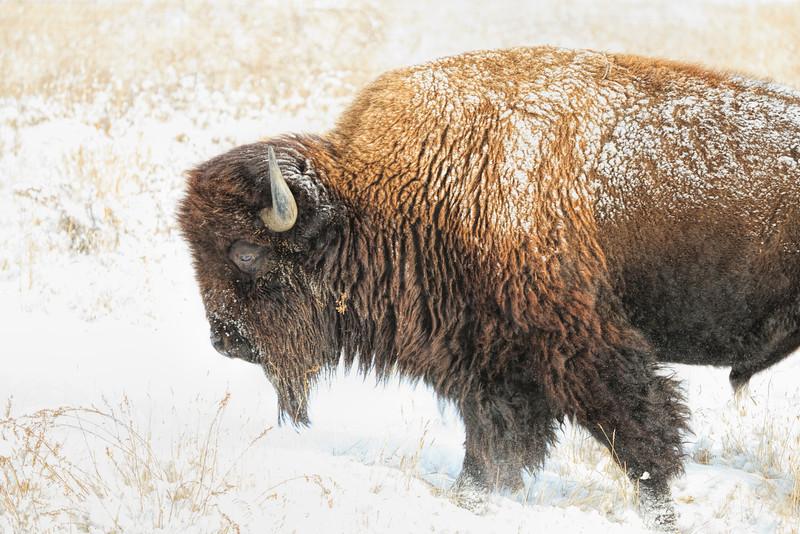 Buffalo 04