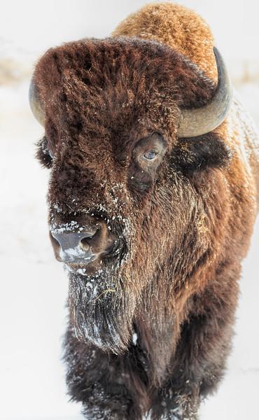Buffalo 03
