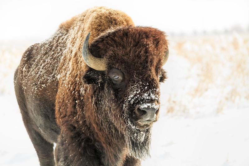 Buffalo 07