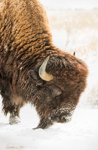 Buffalo 06
