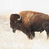 Buffalo 05