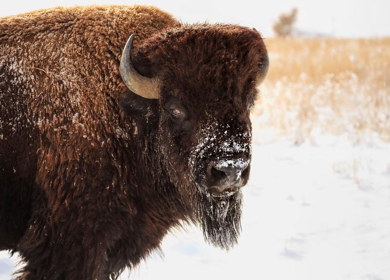 Buffalo 08