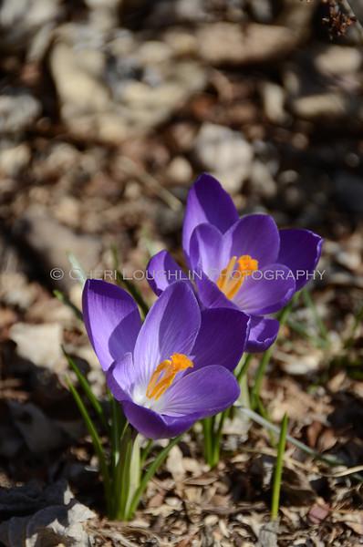 Purple flowers of spring