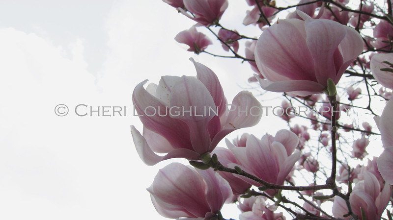 "Japanese Magnolia Tree with ""Tulip Blooms"""