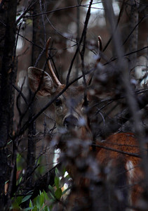 Through a hunter's eyes. Black-tailed deer.